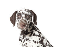 Dalmatian dog puppy. Brown and white 3 month old dalmatian dog puppy Stock Photography