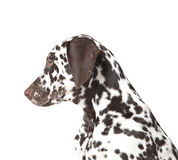 Dalmatian dog puppy. Brown and white 3 month old dalmatian dog puppy Royalty Free Stock Images
