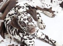 Dalmatian dog puppy Stock Photography