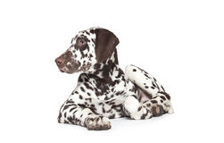 Dalmatian dog. Brown and white 3 month old dalmatian dog puppy in front of white background Royalty Free Stock Image