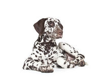 Dalmatian dog puppy. Brown and white 3 month old dalmatian dog puppy in front of white background Stock Image
