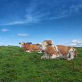 Brown and white mountain cows Stock Photo