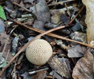 Brown and White Puffball Mushroom Stock Image