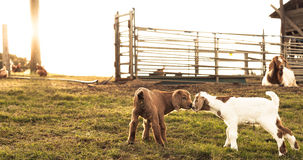 Brown and white newborn goats kissing. Royalty Free Stock Images