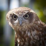 Brown White Owl Stock Image
