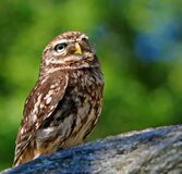 Brown White Owl in a Green Blurry Background Stock Photo