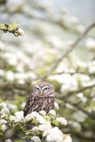 Brown and White Owl on Tree Branch Beside White Flowers Stock Photos