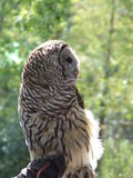 Brown & White Owl. At the zoo Stock Photography