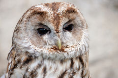 Brown and white owllooking sideways Stock Image