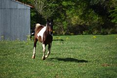 Paint Horse Running. Brown and white paint horse running in an open field Stock Photography