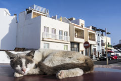 Brown and white piebald cat sleeping on a car roof. Stock Image