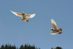 Brown and white pigeon flying. Two beautiful brown and white pigeons flying stock photo