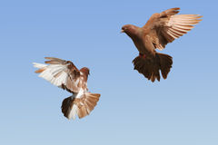 Brown and white pigeon flying. Two beautiful pigeons flying, blue sky background stock images