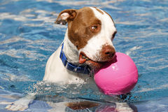 Brown and white pitbull swimming in the pool Royalty Free Stock Image