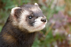 Brown and White Polecat Royalty Free Stock Image