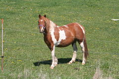 Brown and white pony. A brown and white horse standing behind the electric fence on green pasture Stock Images
