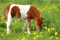 Brown and white pony on a dandelion meadow Stock Photography