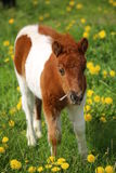 Brown and white pony on a dandelion meadow Royalty Free Stock Photography
