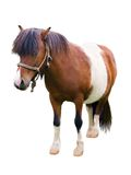 Brown and white pony isolated on white Royalty Free Stock Photography