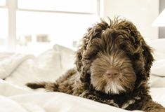 Brown and White Portuguese Water Dog Puppy Royalty Free Stock Image