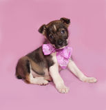 Brown and white puppy with bow sitting on pink Stock Photo