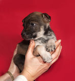 Brown and white puppy sitting on hands on red Royalty Free Stock Photography