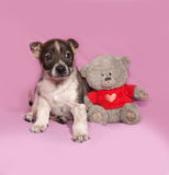 Brown and white puppy sitting with teddy bear on pink Royalty Free Stock Image