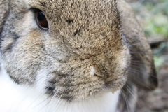 Brown and white rabbit. A cute and young brown and white rabbit (bunny) with big ears royalty free stock photos