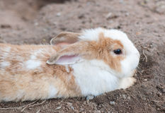 Brown and White Rabbit Royalty Free Stock Photos