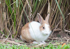 Brown and White Rabbit Royalty Free Stock Images