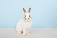 Brown and white rabbit Stock Image