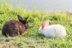 Brown and white rabbit on the grass Royalty Free Stock Photography