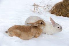 Brown and white rabbit Stock Photos