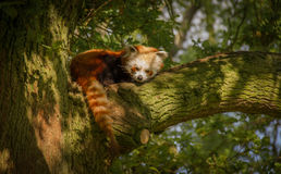 Brown and White Raccoon on Brown Tree Stock Photography