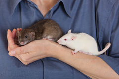 Brown and white rats Royalty Free Stock Photography