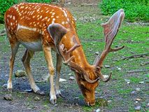 Brown and White Reindeer royalty free stock photos