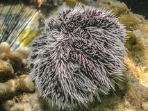 Brown and White Sea Urchin. Outside of St. John in the Virgin Islands stock photo