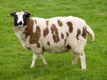Brown and White sheep. Standing in a grass field royalty free stock images