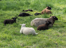 Brown and white sheep lying in the grass Royalty Free Stock Photo
