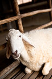Brown and white sheep lying. On the ground royalty free stock image