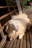 Brown and white sheep relaxing. Brown and white sheep lying on the ground stock photo