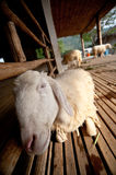Brown and white sheep sleep. Brown and white sheep lying on the ground royalty free stock photos