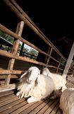 Brown and white sheep sleep. Brown and white sheep lying on the ground royalty free stock image