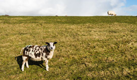 Brown and white sheep standing on the slope of a dike Royalty Free Stock Photo