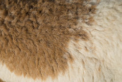 Brown and white sheep wool Royalty Free Stock Images