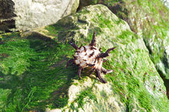 Brown and white shell on rock covered in seaweed. Brown and white shell on a rock covered in seaweed on the beach Stock Photography
