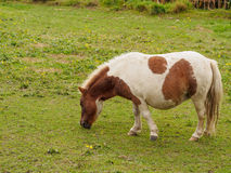 Brown and white shetland pony in field Royalty Free Stock Photography