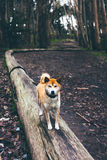 Brown and White Short Coated Dog on Brown Wood Tranks Stock Images