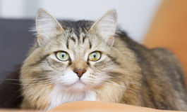 brown white siberian cat on the sofa Stock Photo