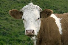 Brown and white skewbald cow portrait Royalty Free Stock Photo